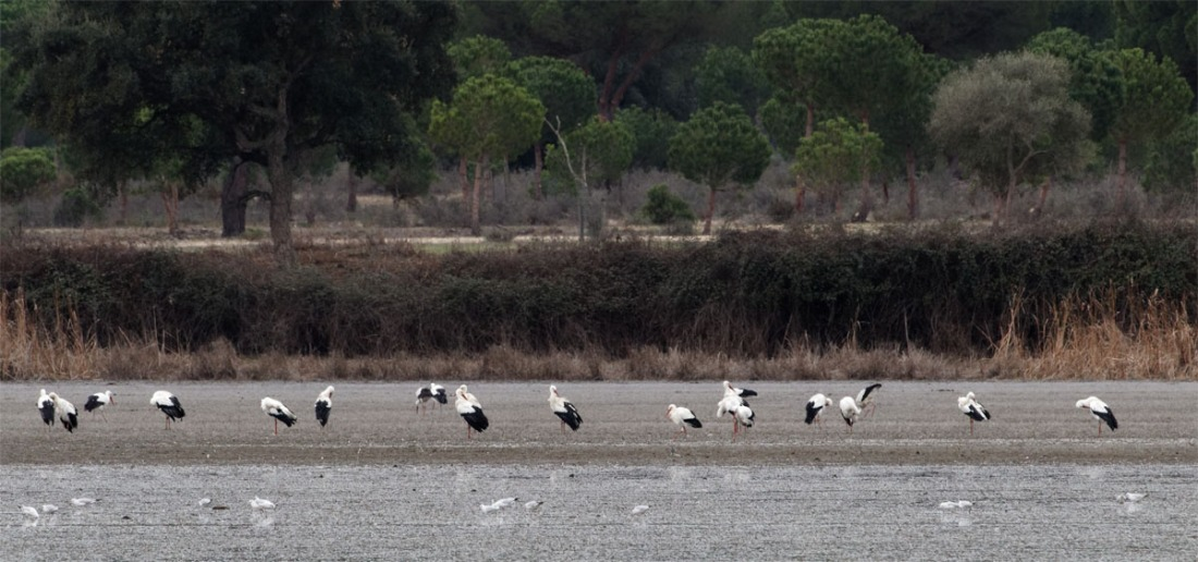White storks Donana Dec 19