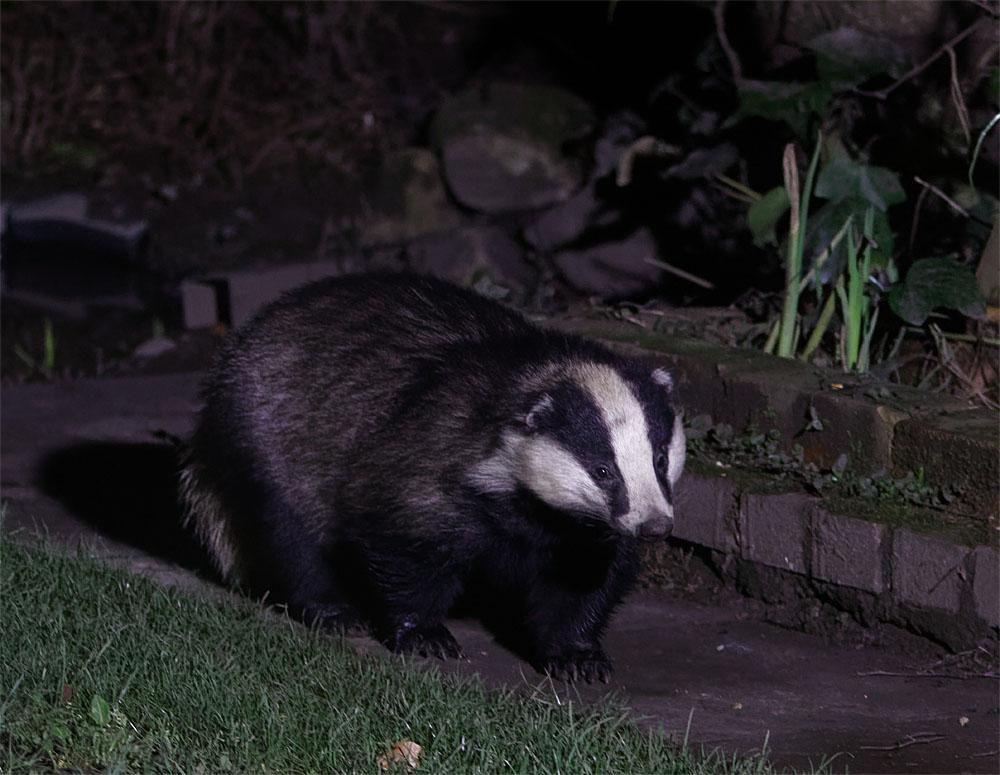 Badger garden 26 Feb 20