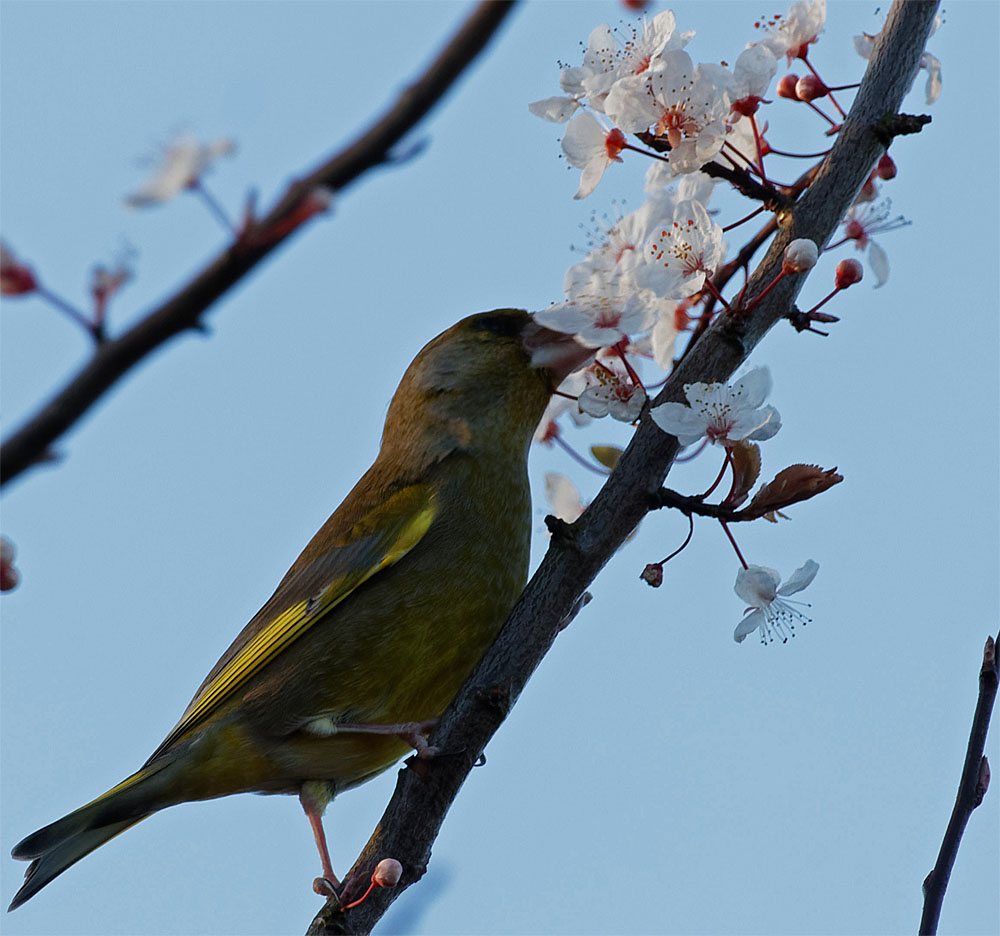 Greenfinch in blossom 26 Feb 20