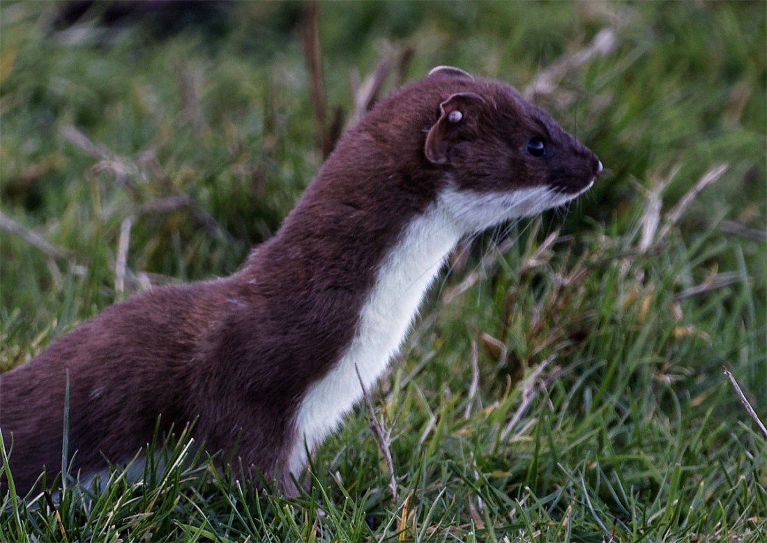 Stoat NF 13 Feb
