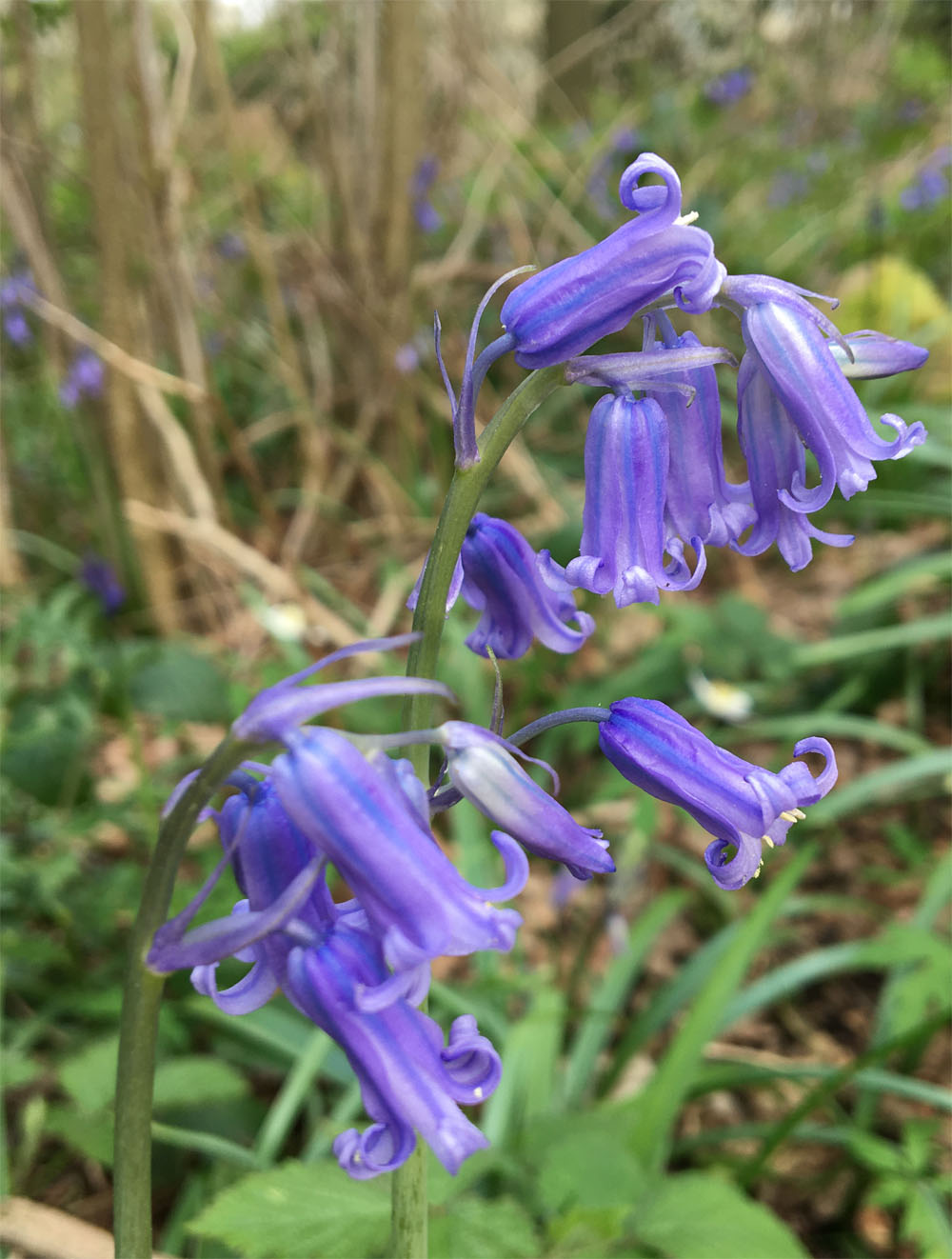 Bluebell 8 Apr 20