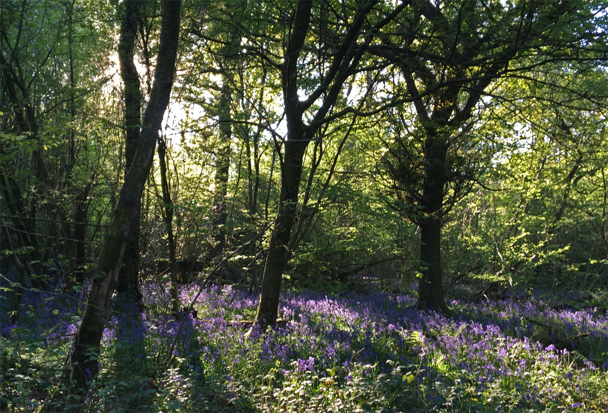 Bluebell wood 25 Apr 20