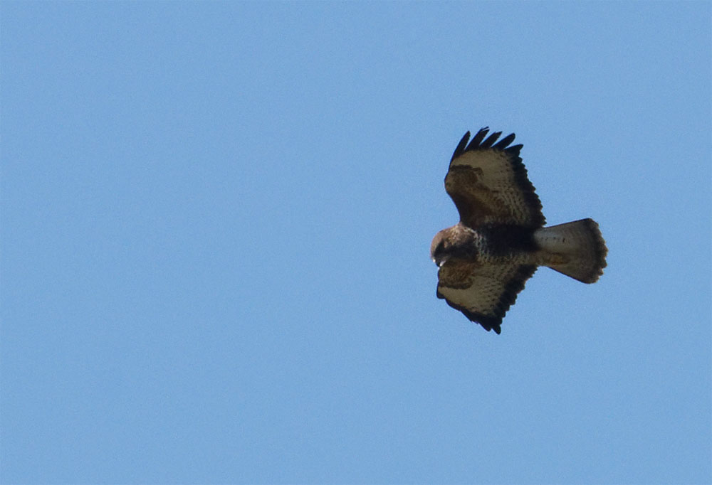 Buzzard NDW 5 Apr 20