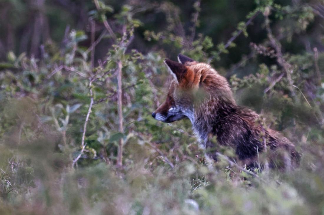 Fox near 13 Apr 20