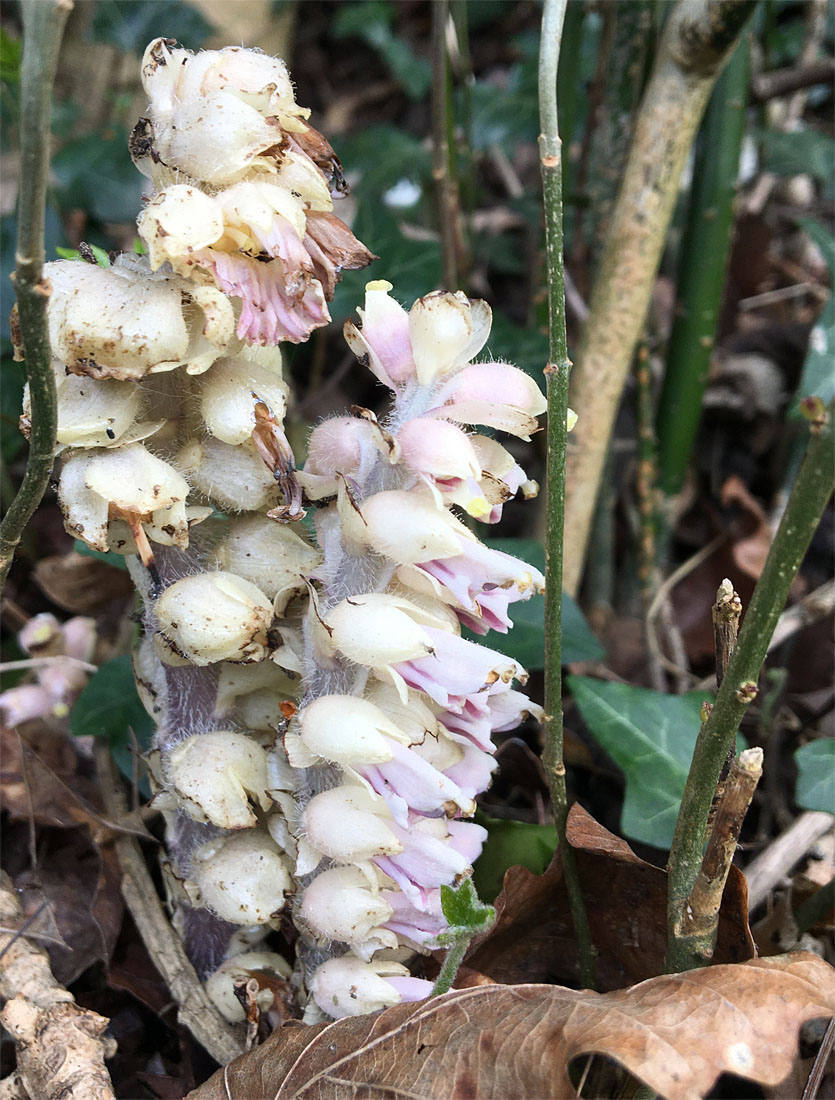 Toothwort Apr 20