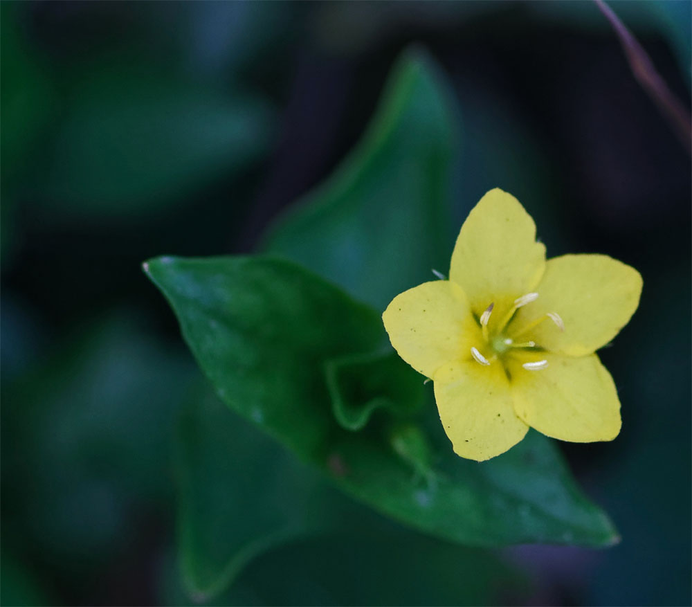 Yellow pimpernel 25 Apr 20