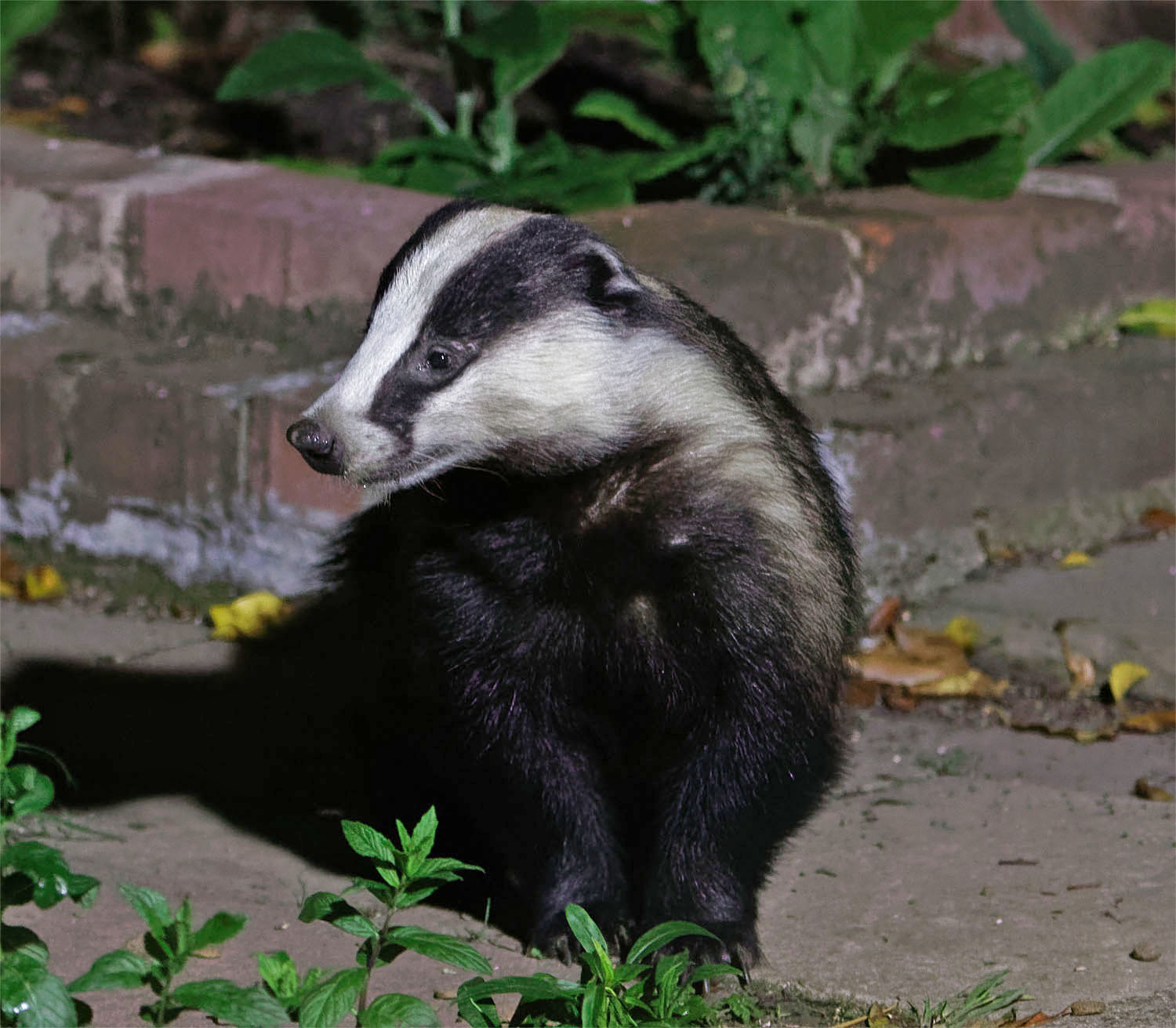 Badger Dyson 26 May 20