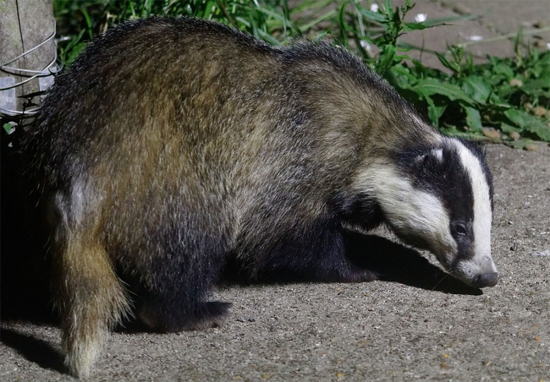 Badger Hetty 26 May 20