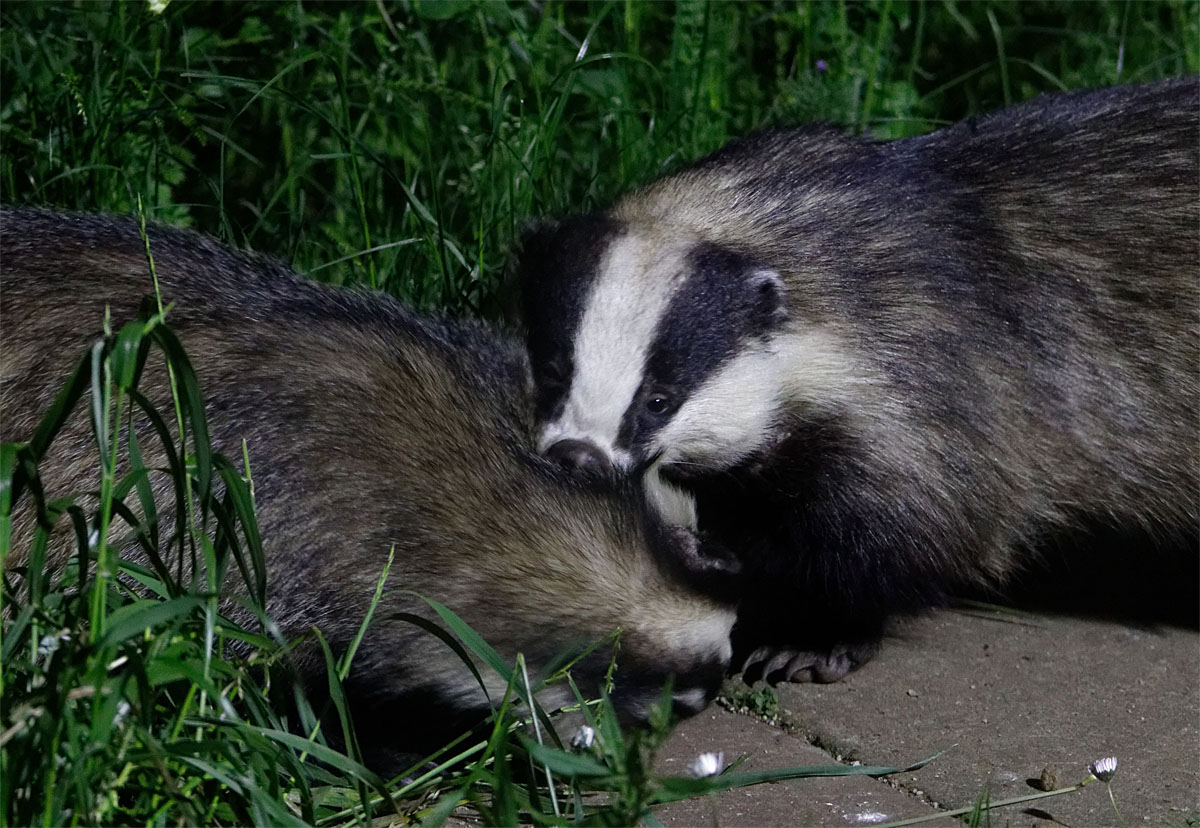 Badgers greeting 26 May 20
