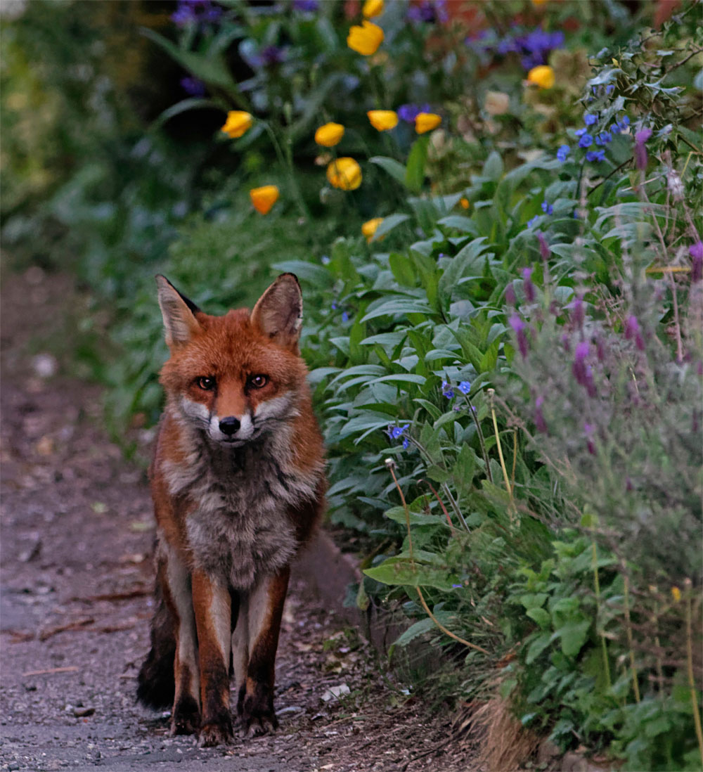 Fox in flowers 7 May 20