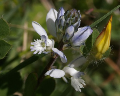 Milkwort white 6 May 20