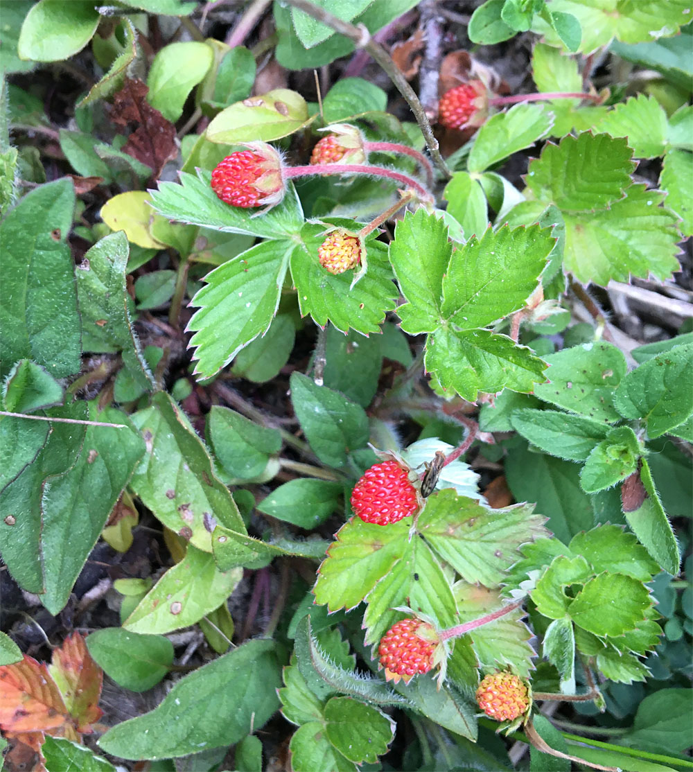 Wild strawberry 19 May 20