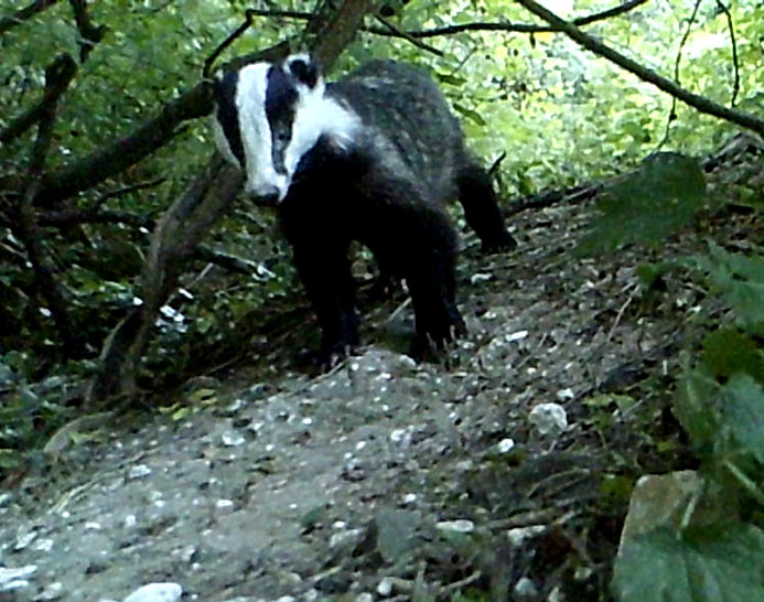 Badger 9 Jun
