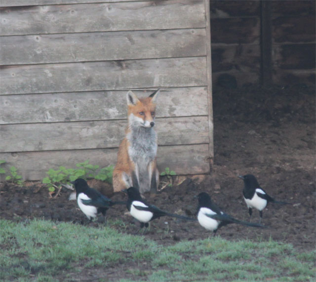 Fox and magpies6 111016