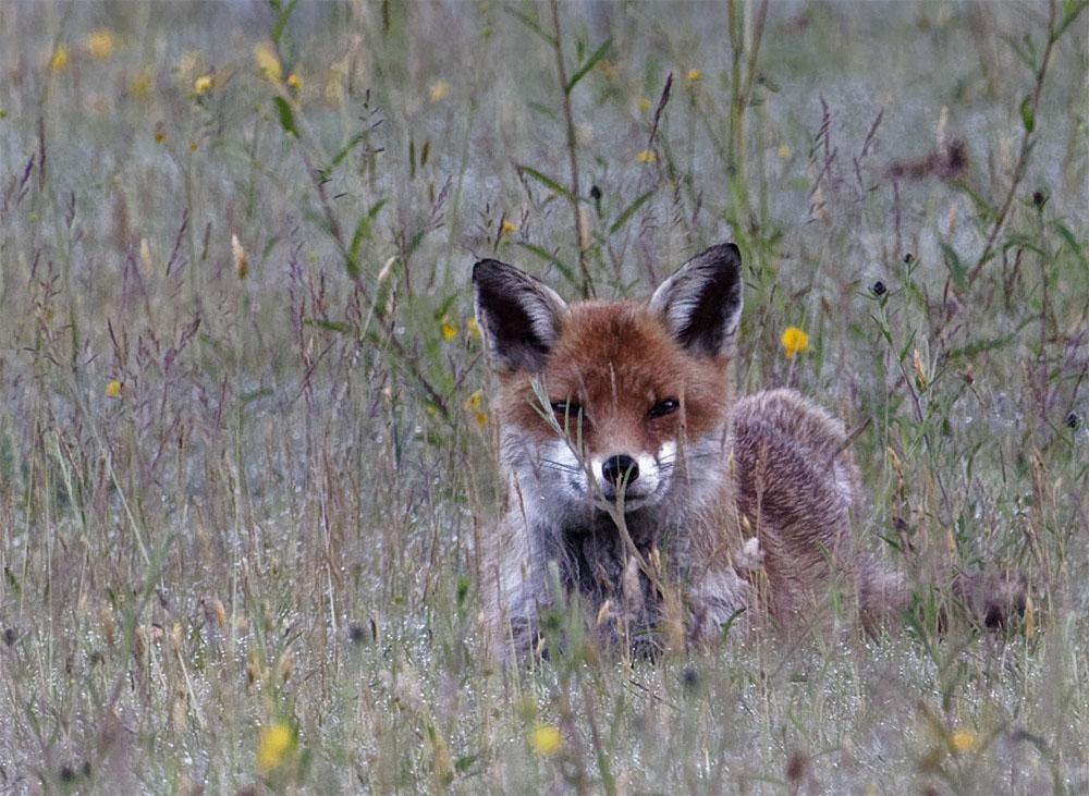 Fox resting 13 Jun 20