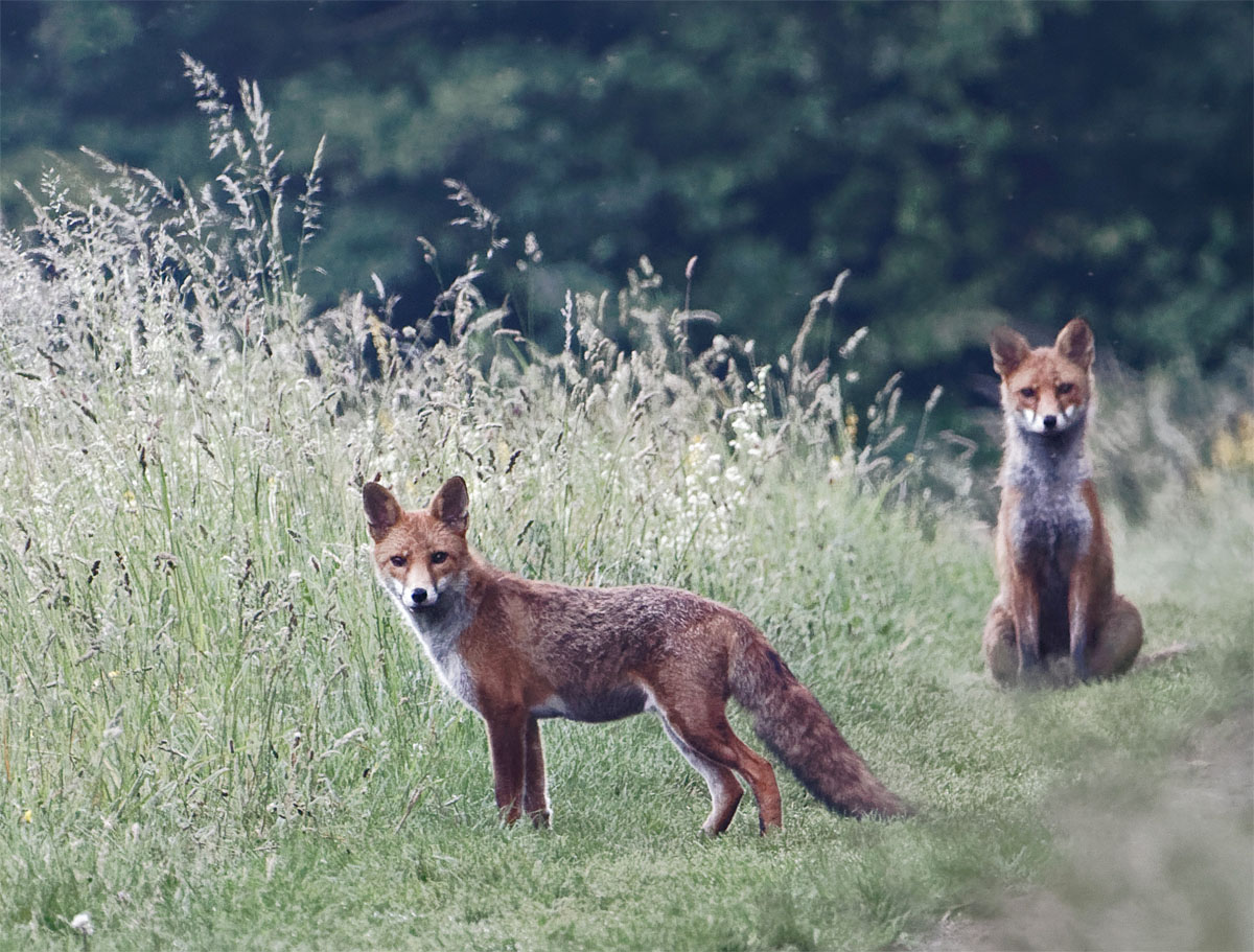 Foxes teenagers 25 Jun 20