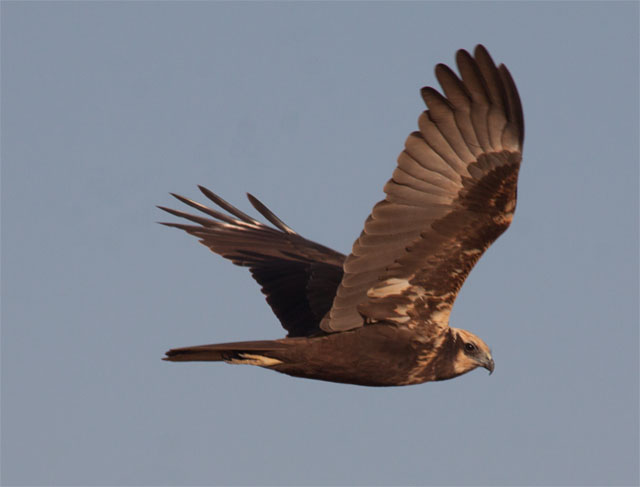 p26 marsh harrier