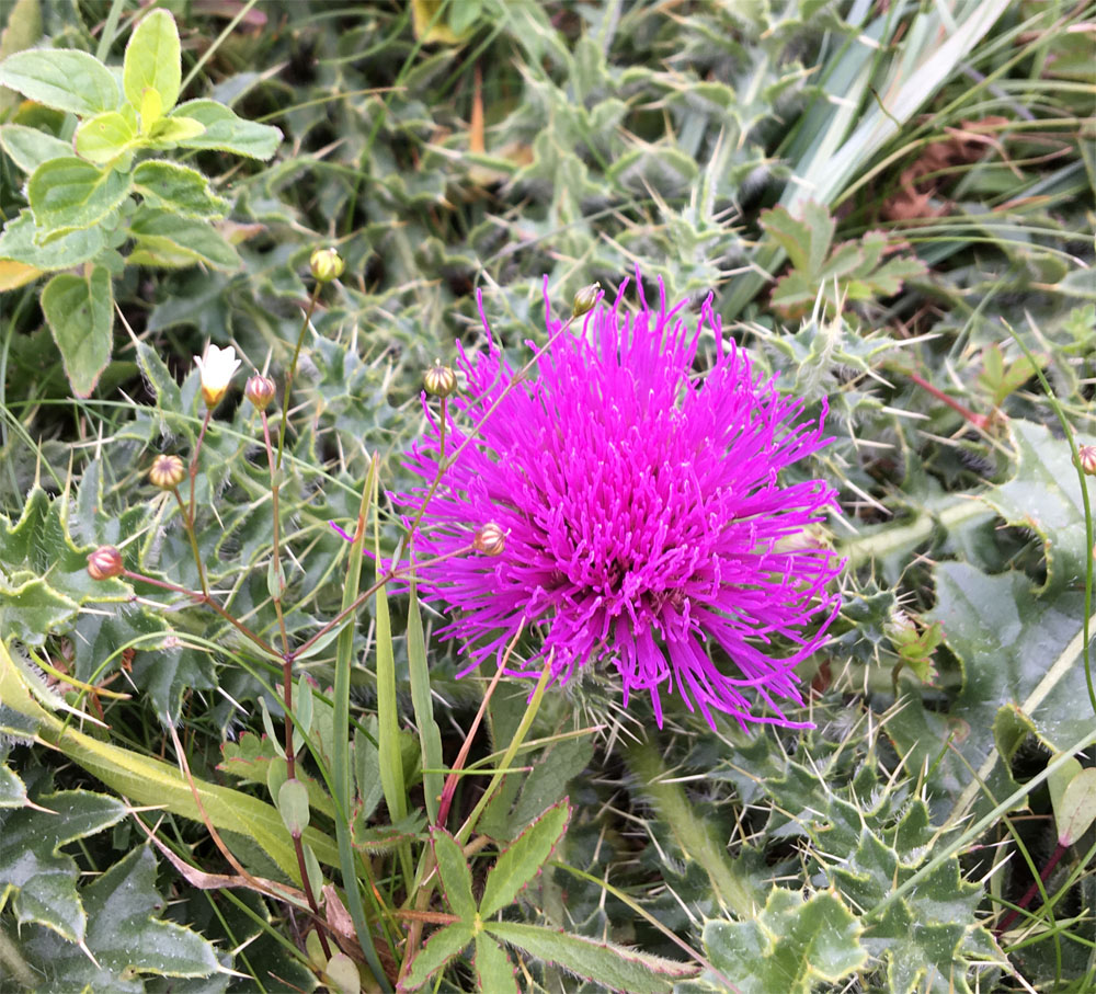 Picnic thistle 29 Jun 20
