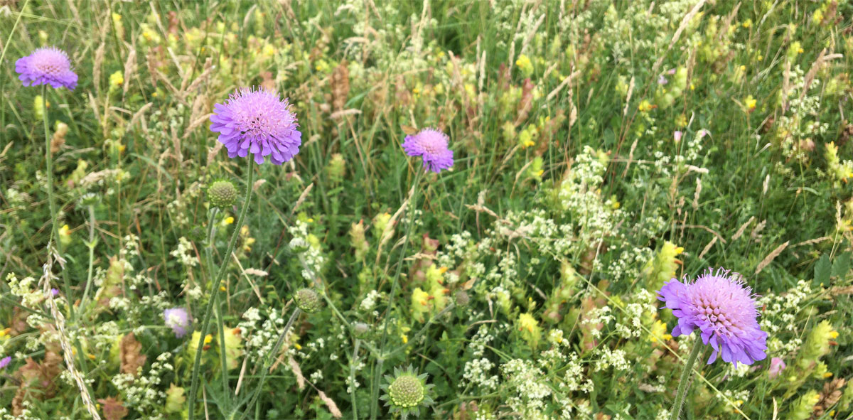 Scabious 29 Jun 20