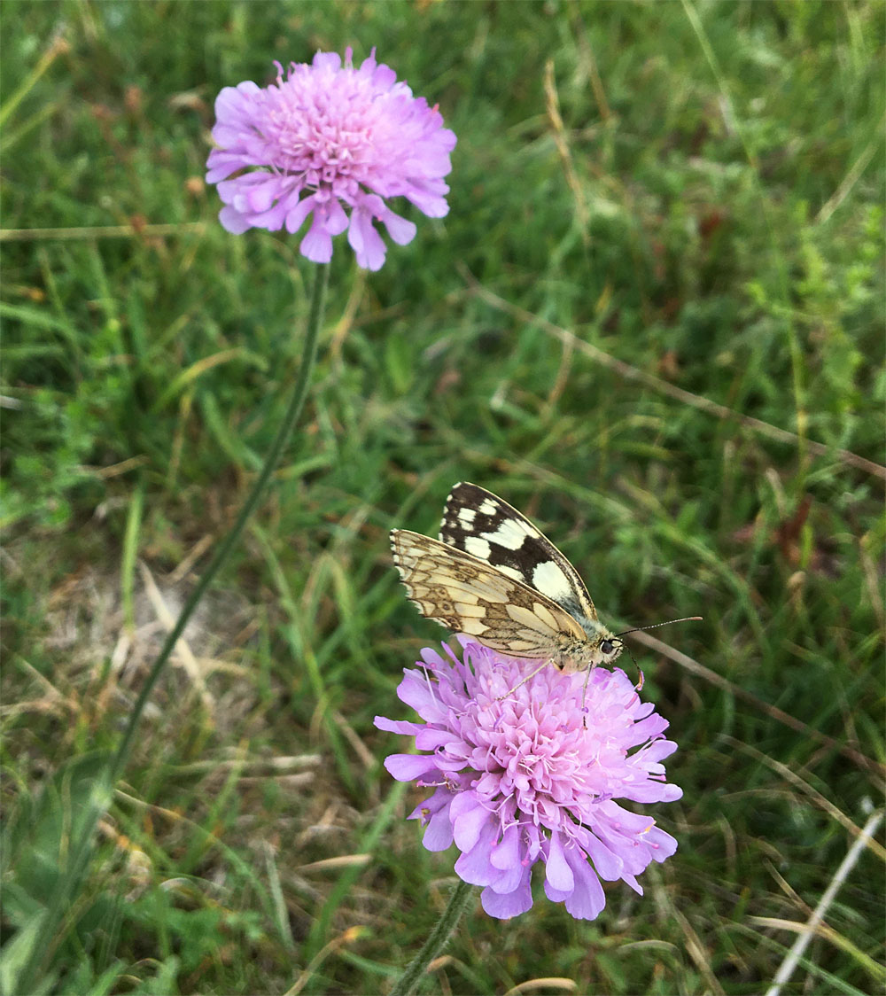 Scabious and marbled white 29 Jun 20
