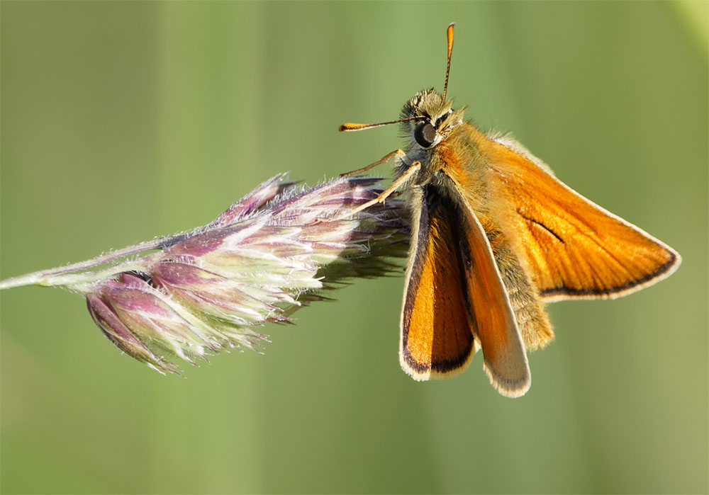 Small skipper 14 Jun 20