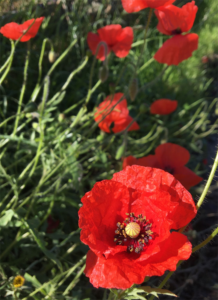 Poppies 11 Jul 20