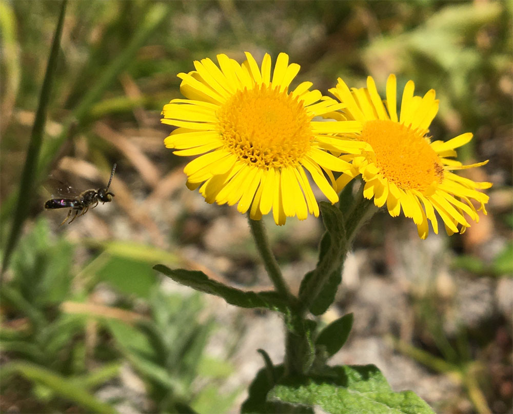 Fleabane and friend 5 Aug 20