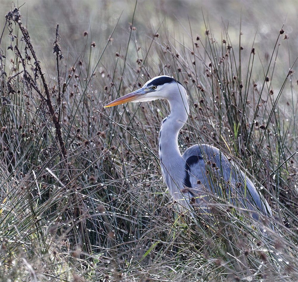 Grey heron 15 Oct 20