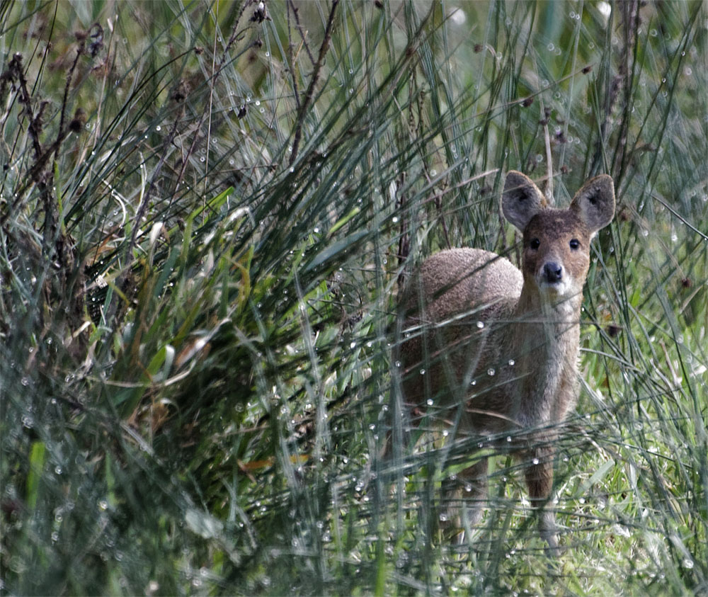 Water deer1 15 Oct 20