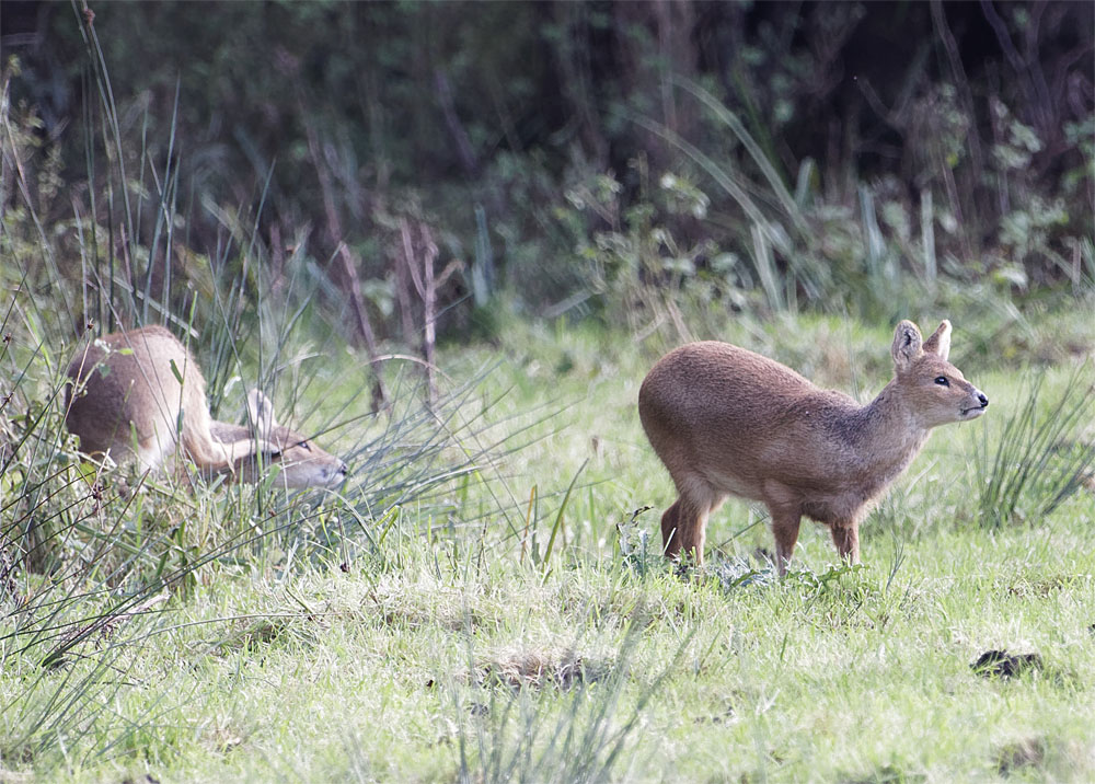 Water deer2 15 Oct 20