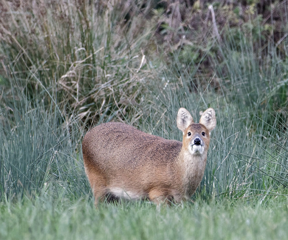 Water deer3 15 Oct 20