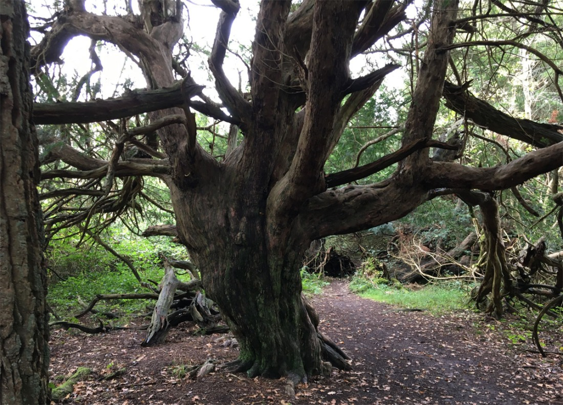 Yew forest1 Oct 20