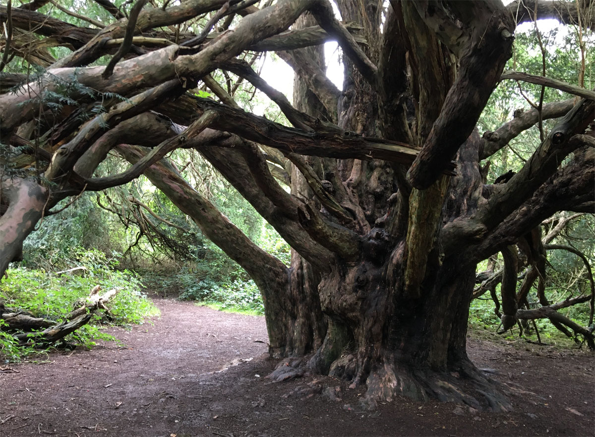 Yew forest2 Oct 20