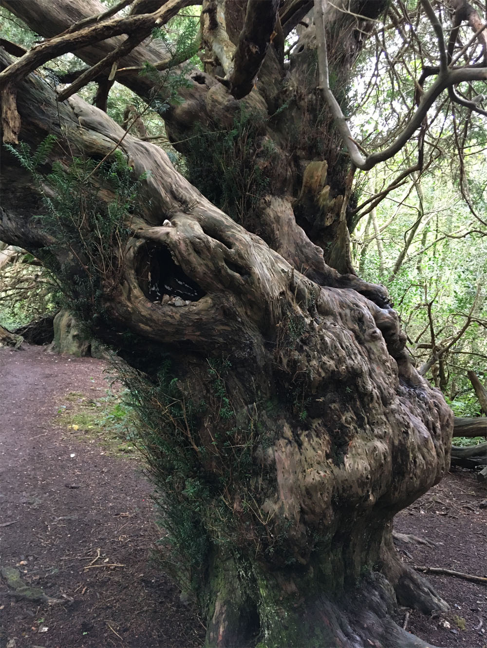 Yew forest3 Oct 20