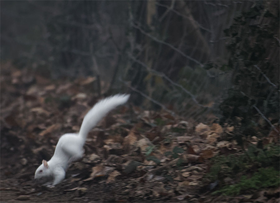 Albino squirrel 1 Jan 21