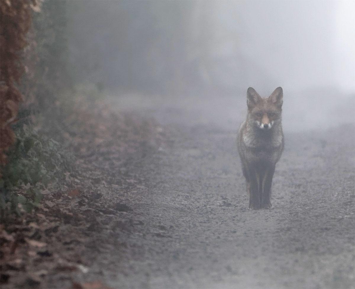 Fox mist 1 Jan 21