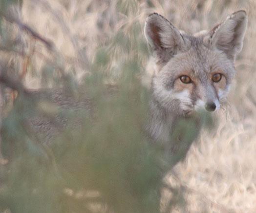 p1 desert fox1