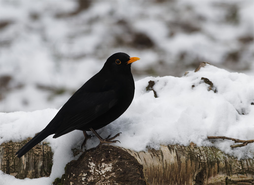Blackbird 13 Feb 21