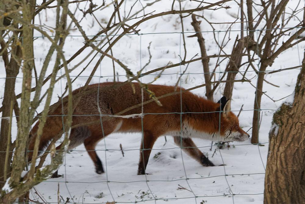 Fox behind fence 9 Feb 21