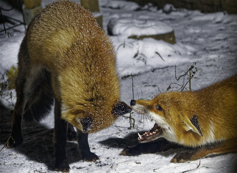 Foxes snow squabble 8 Feb 21