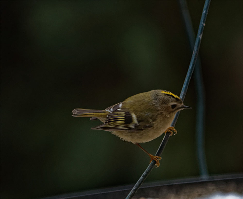Goldcrest 13 Feb 21