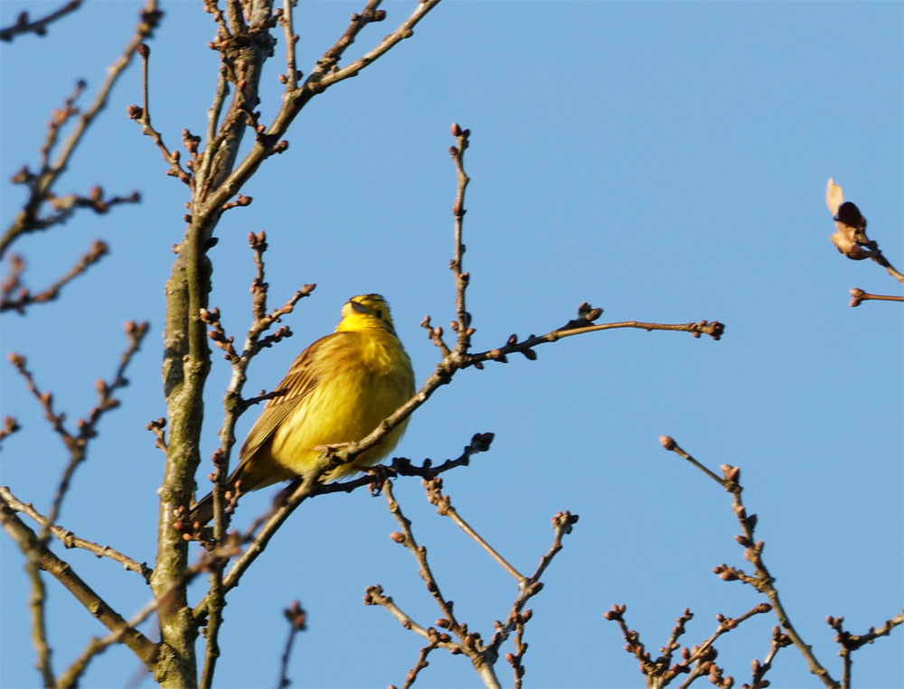 Yellowhammer 27 Feb 21