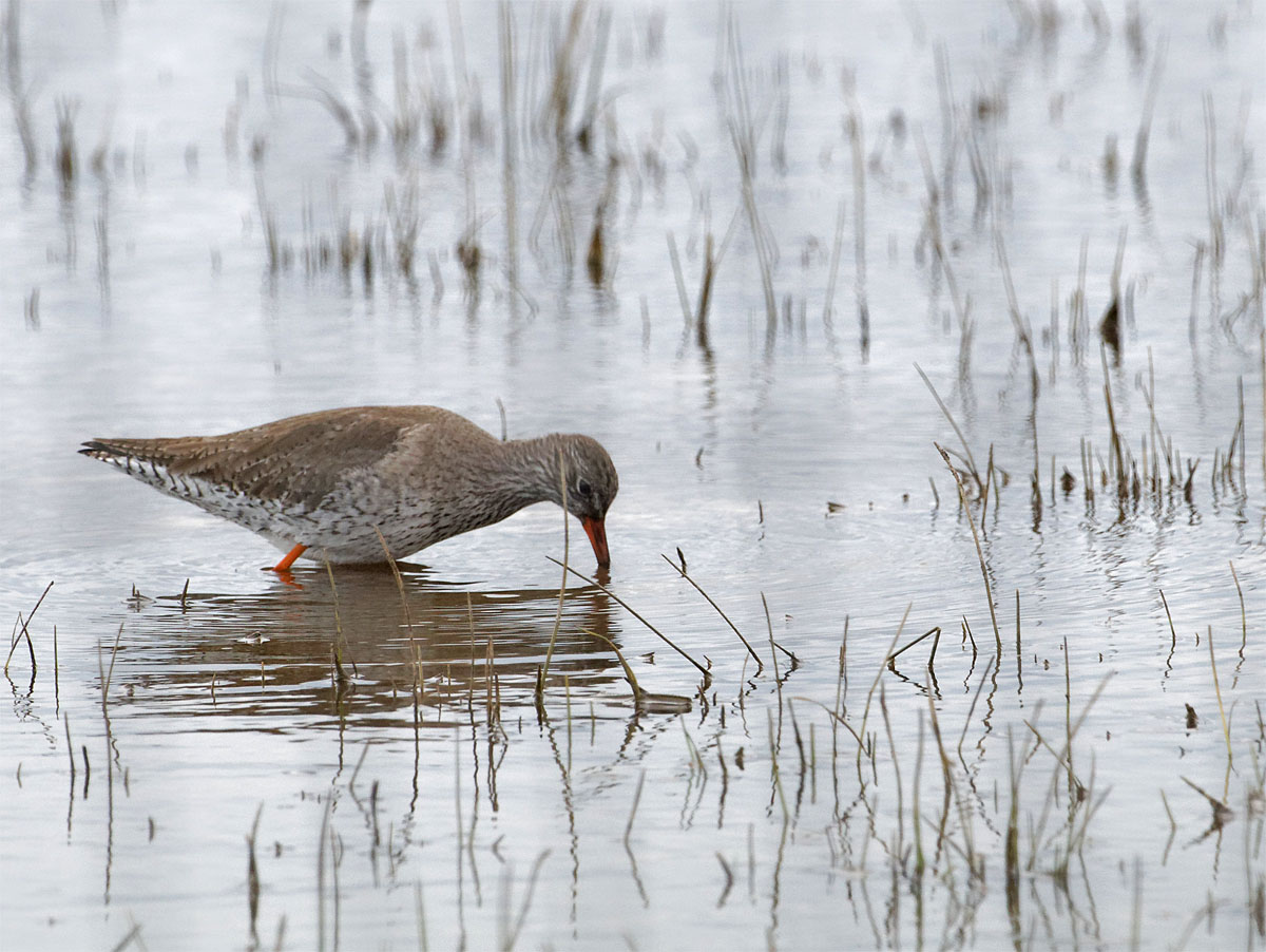 Redshank Dungeness Apr 21