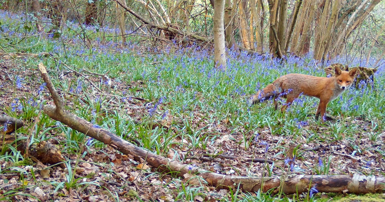 Fox in bluebells May 2021