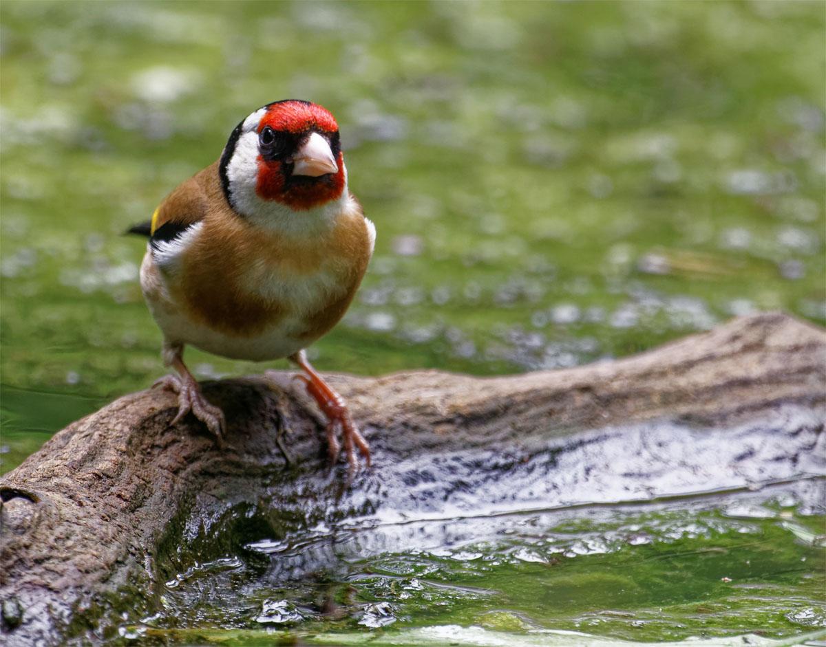 Goldfinch Jul 21