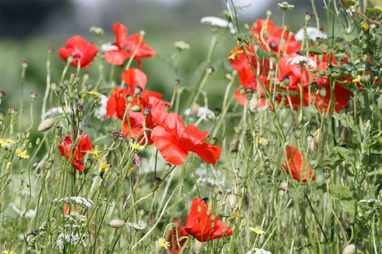 Poppies Thompson Common 29 Jul 21
