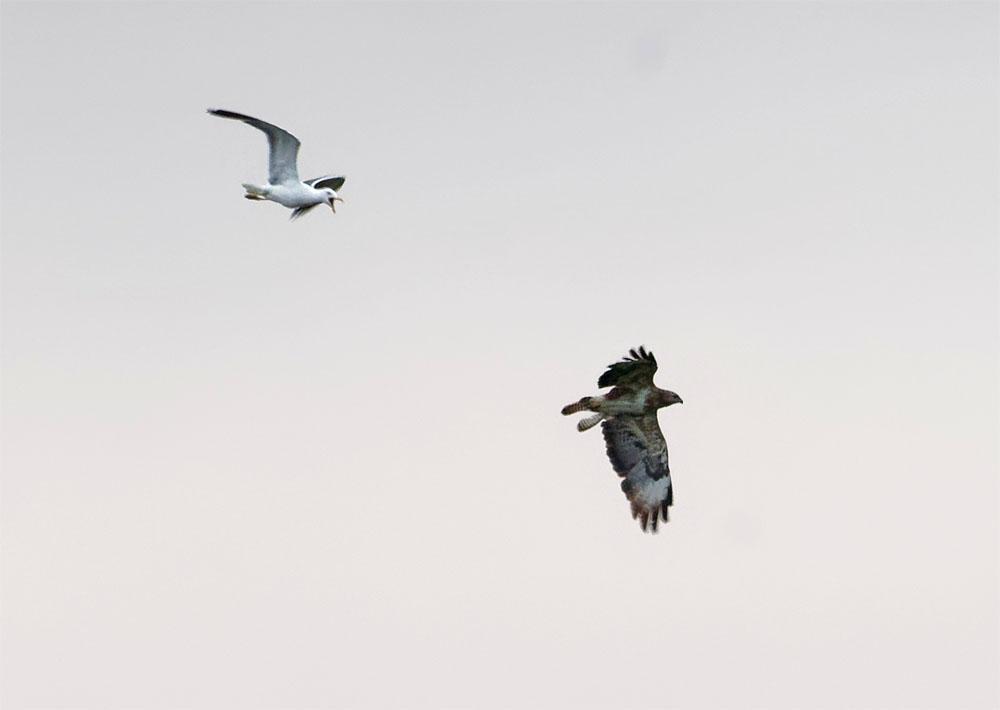 Buzzard and gull 8 Aug 21