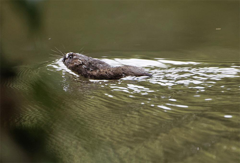 Water vole2 21 Aug 21