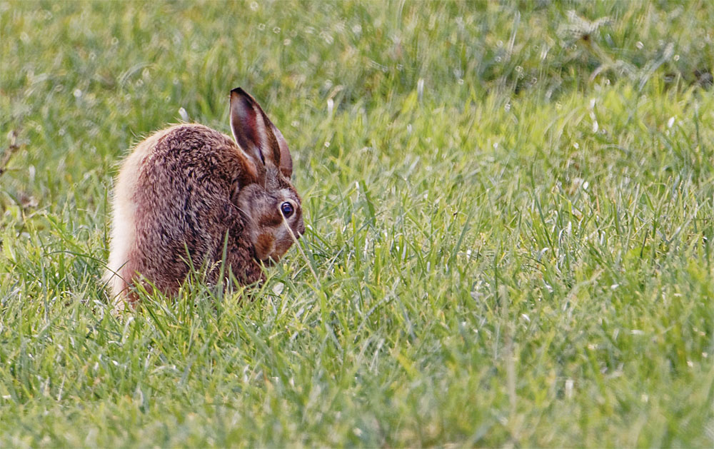 Brown hare 18 Sept 21