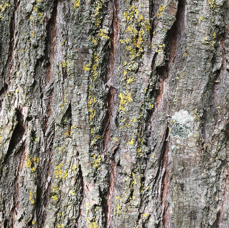 Crack willow 4 Sept 21